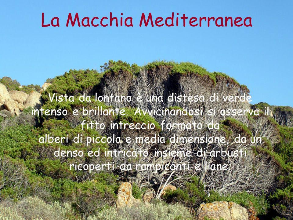 La Macchia Mediterranea Vista da lontano è una distesa di verde intenso e brillante. Avvicinandosi si osserva il fitto intreccio formato da alberi di