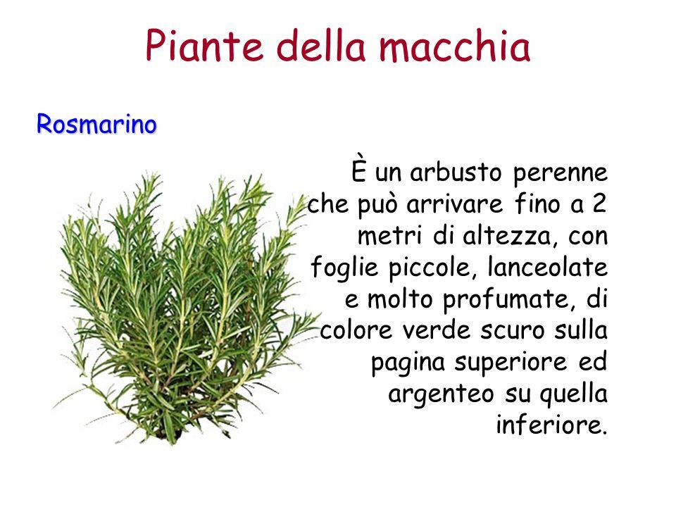 Rosmarino È un arbusto perenne che può arrivare fino a 2 metri di altezza, con foglie piccole, lanceolate e molto profumate, di colore verde scuro sul