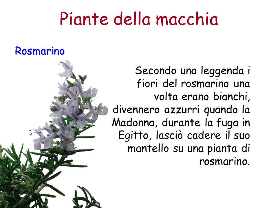 Rosmarino Secondo una leggenda i fiori del rosmarino una volta erano bianchi, divennero azzurri quando la Madonna, durante la fuga in Egitto, lasciò c