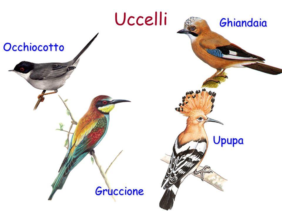 Ghiandaia Uccelli Occhiocotto Gruccione Upupa