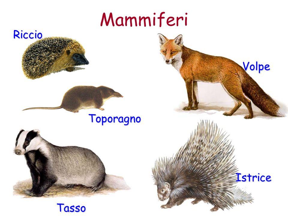 Volpe Mammiferi Riccio Tasso Istrice Toporagno