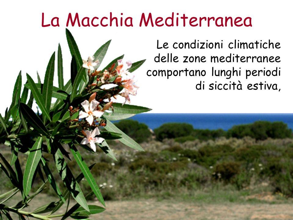 La Macchia Mediterranea Le condizioni climatiche delle zone mediterranee comportano lunghi periodi di siccità estiva,