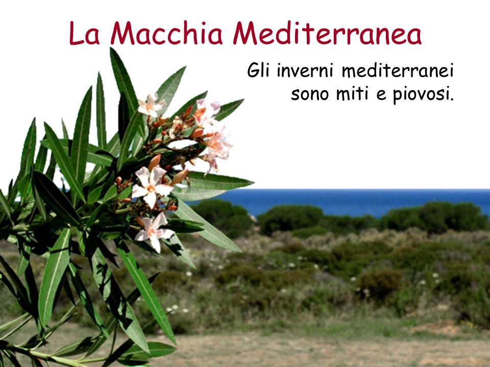 La Macchia Mediterranea Gli inverni mediterranei sono miti e piovosi.