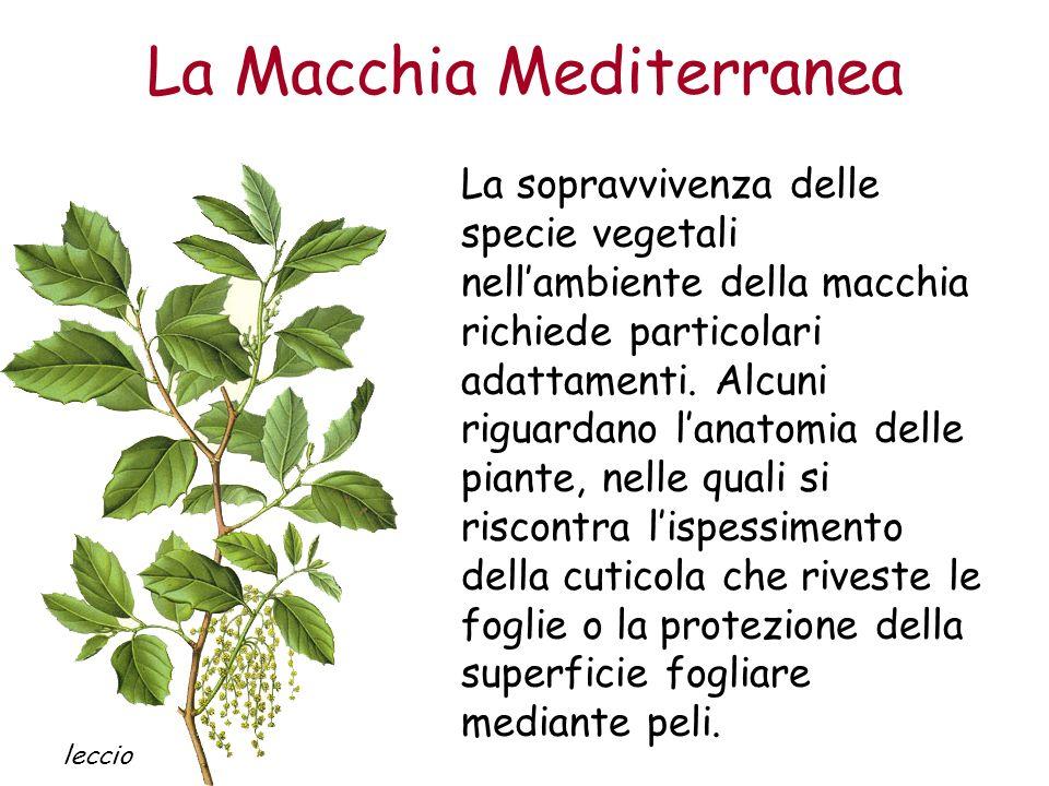 La Macchia Mediterranea La sopravvivenza delle specie vegetali nellambiente della macchia richiede particolari adattamenti. Alcuni riguardano lanatomi