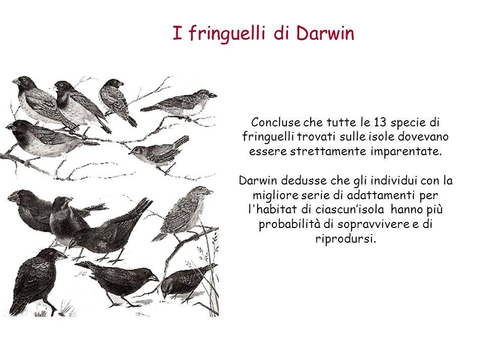 I fringuelli di Darwin Concluse che tutte le 13 specie di fringuelli trovati sulle isole dovevano essere strettamente imparentate. Darwin dedusse che