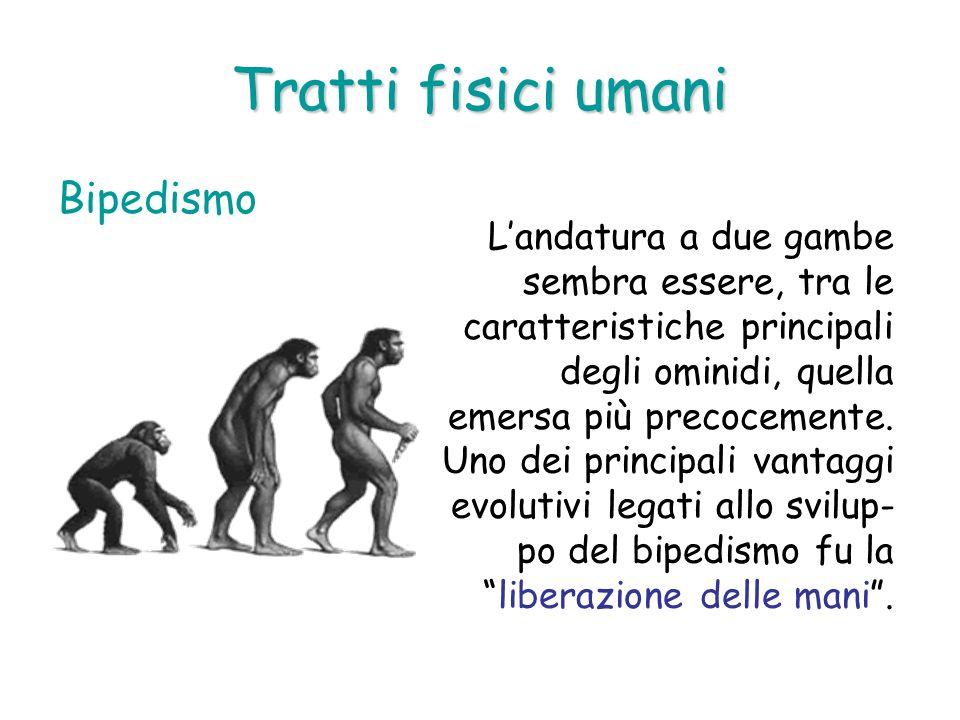 Tratti fisici umani Bipedismo Landatura a due gambe sembra essere, tra le caratteristiche principali degli ominidi, quella emersa più precocemente. Un