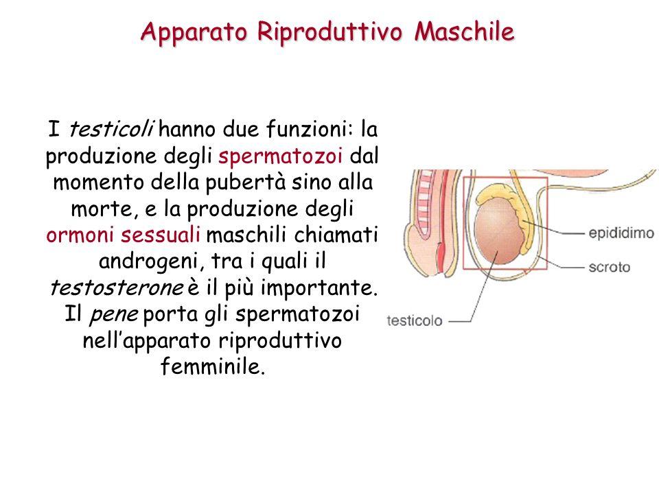 I testicoli hanno due funzioni: la produzione degli spermatozoi dal momento della pubertà sino alla morte, e la produzione degli ormoni sessuali masch