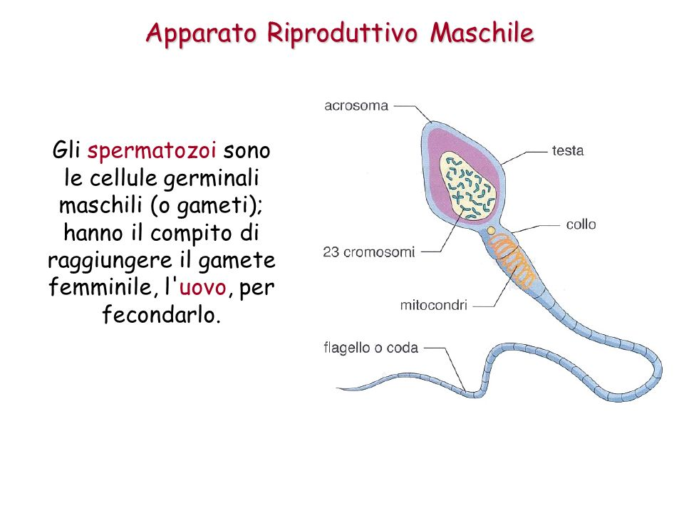 Apparato Riproduttivo Maschile Gli spermatozoi sono le cellule germinali maschili (o gameti); hanno il compito di raggiungere il gamete femminile, l uovo, per fecondarlo.