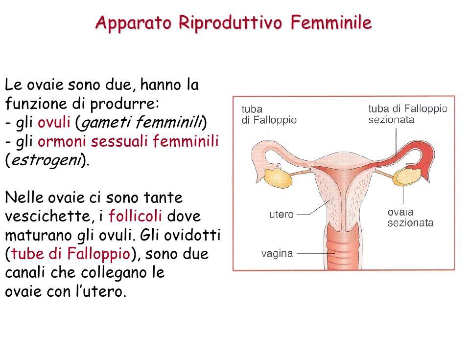 Apparato Riproduttivo Femminile Le ovaie sono due, hanno la funzione di produrre: - gli ovuli (gameti femminili) - gli ormoni sessuali femminili (estrogeni).