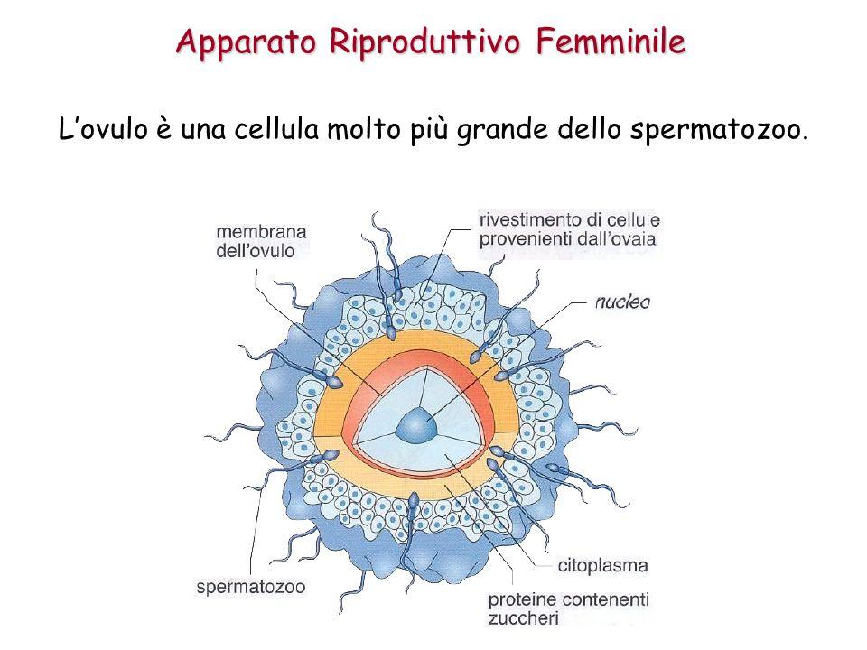 Apparato Riproduttivo Femminile Lovulo è una cellula molto più grande dello spermatozoo.