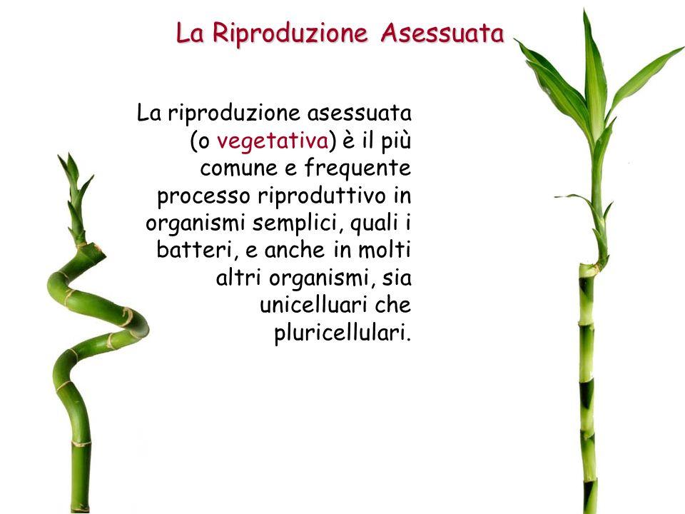 La Riproduzione Asessuata La riproduzione asessuata (o vegetativa) è il più comune e frequente processo riproduttivo in organismi semplici, quali i batteri, e anche in molti altri organismi, sia unicelluari che pluricellulari.