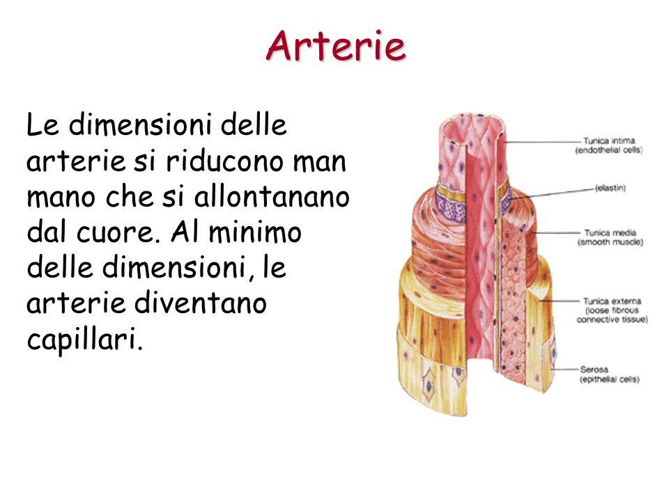 Le dimensioni delle arterie si riducono man mano che si allontanano dal cuore.