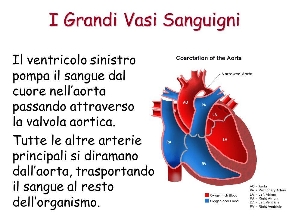 Il ventricolo sinistro pompa il sangue dal cuore nellaorta passando attraverso la valvola aortica.
