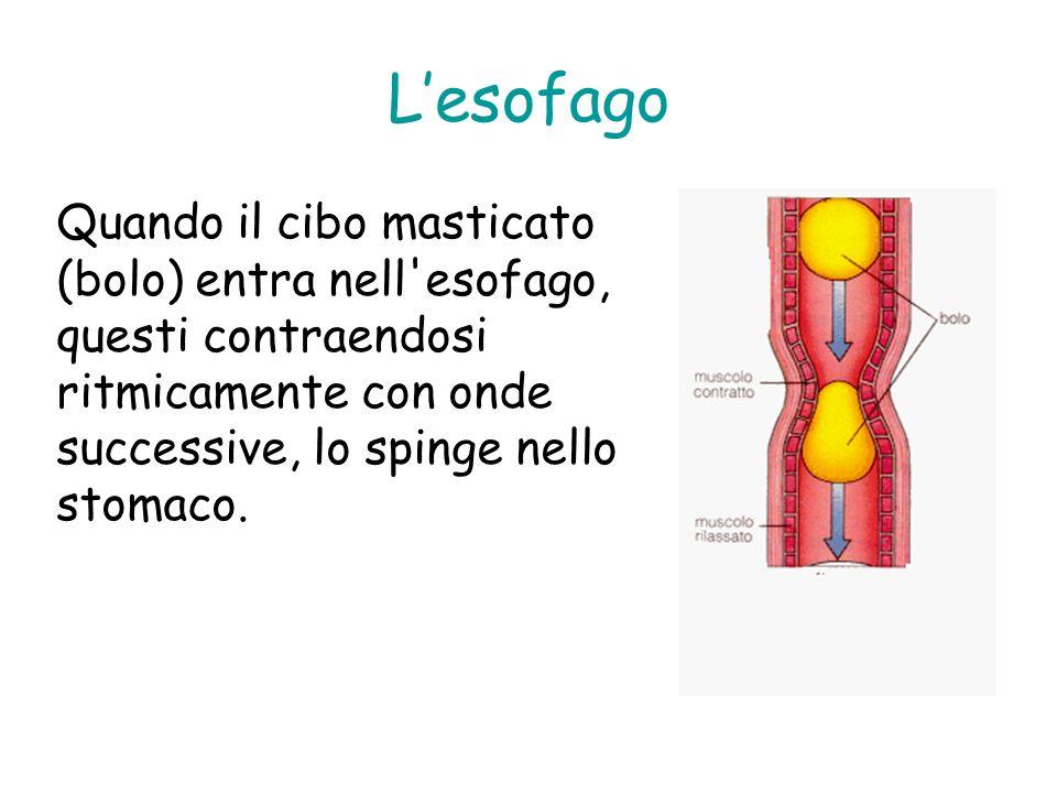 Lesofago Quando il cibo masticato (bolo) entra nell'esofago, questi contraendosi ritmicamente con onde successive, lo spinge nello stomaco.