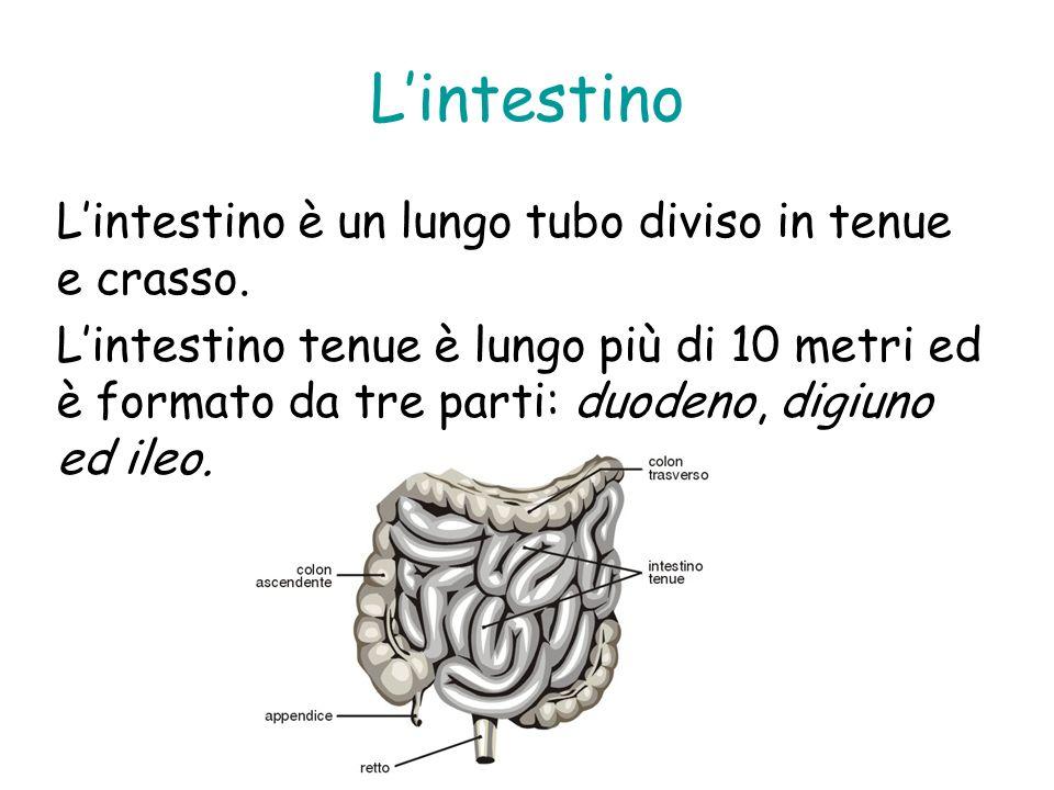 Lintestino Lintestino è un lungo tubo diviso in tenue e crasso. Lintestino tenue è lungo più di 10 metri ed è formato da tre parti: duodeno, digiuno e