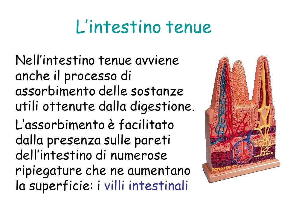 Lintestino tenue Nellintestino tenue avviene anche il processo di assorbimento delle sostanze utili ottenute dalla digestione. Lassorbimento è facilit