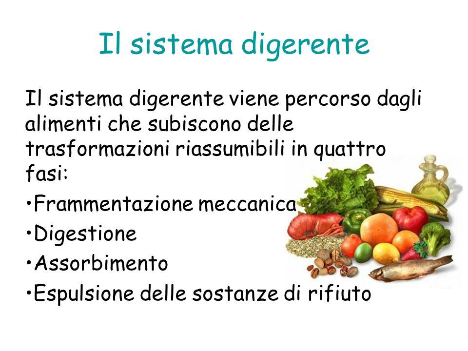 Il sistema digerente Il sistema digerente viene percorso dagli alimenti che subiscono delle trasformazioni riassumibili in quattro fasi: Frammentazion