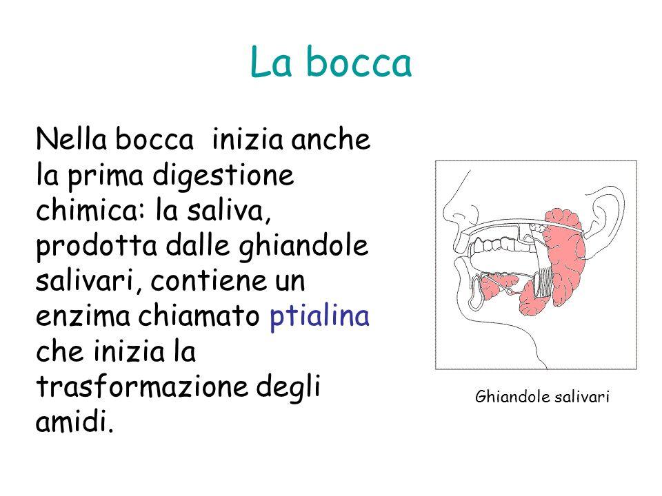 La bocca Nella bocca inizia anche la prima digestione chimica: la saliva, prodotta dalle ghiandole salivari, contiene un enzima chiamato ptialina che