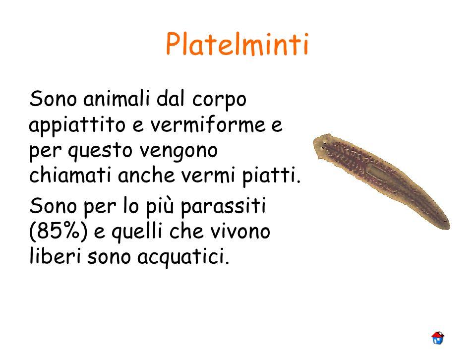 Platelminti Sono animali dal corpo appiattito e vermiforme e per questo vengono chiamati anche vermi piatti. Sono per lo più parassiti (85%) e quelli