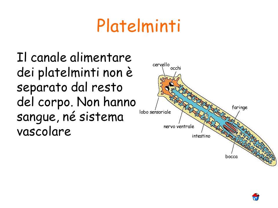 Platelminti Il canale alimentare dei platelminti non è separato dal resto del corpo. Non hanno sangue, né sistema vascolare