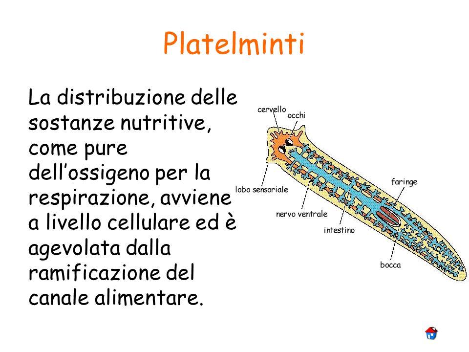 Platelminti La distribuzione delle sostanze nutritive, come pure dellossigeno per la respirazione, avviene a livello cellulare ed è agevolata dalla ra