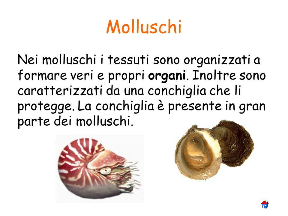 Molluschi Nei molluschi i tessuti sono organizzati a formare veri e propri organi. Inoltre sono caratterizzati da una conchiglia che li protegge. La c