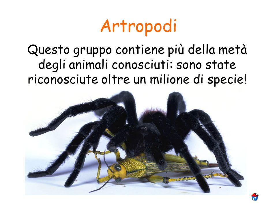 Artropodi Questo gruppo contiene più della metà degli animali conosciuti: sono state riconosciute oltre un milione di specie!