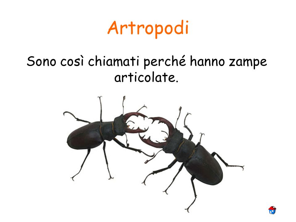 Artropodi Sono così chiamati perché hanno zampe articolate.