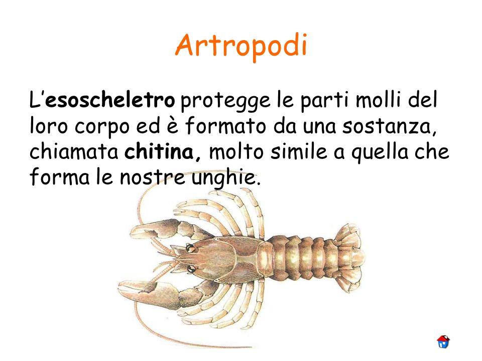 Artropodi Lesoscheletro protegge le parti molli del loro corpo ed è formato da una sostanza, chiamata chitina, molto simile a quella che forma le nost
