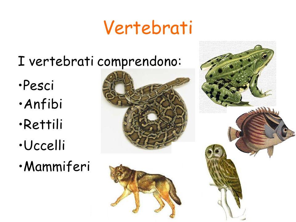 Vertebrati I vertebrati comprendono: Pesci Anfibi Rettili Uccelli Mammiferi