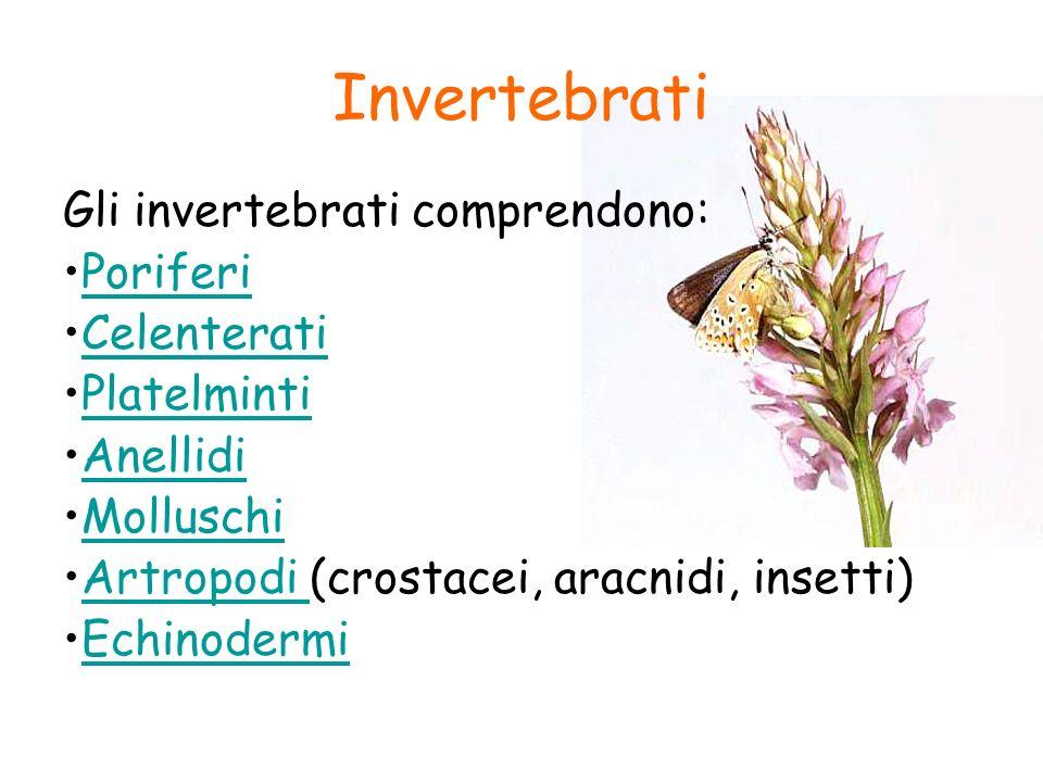 Invertebrati Gli invertebrati comprendono: Poriferi Celenterati Platelminti Anellidi Molluschi Artropodi (crostacei, aracnidi, insetti)Artropodi Echin