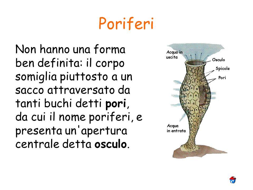 Poriferi Non hanno una forma ben definita: il corpo somiglia piuttosto a un sacco attraversato da tanti buchi detti pori, da cui il nome poriferi, e p