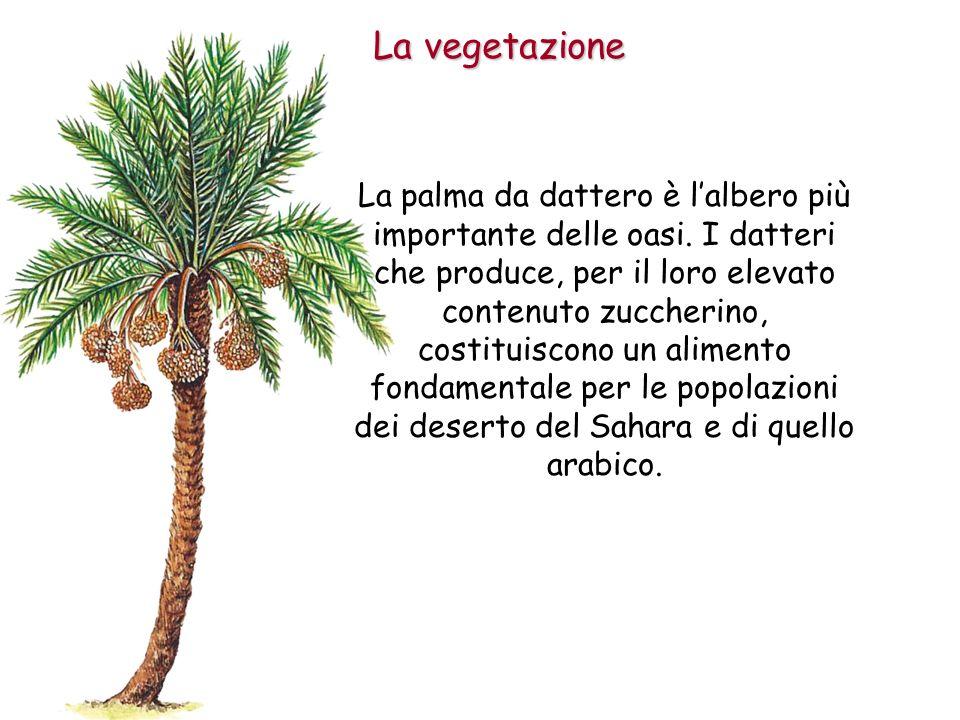 La vegetazione La palma da dattero è lalbero più importante delle oasi. I datteri che produce, per il loro elevato contenuto zuccherino, costituiscono