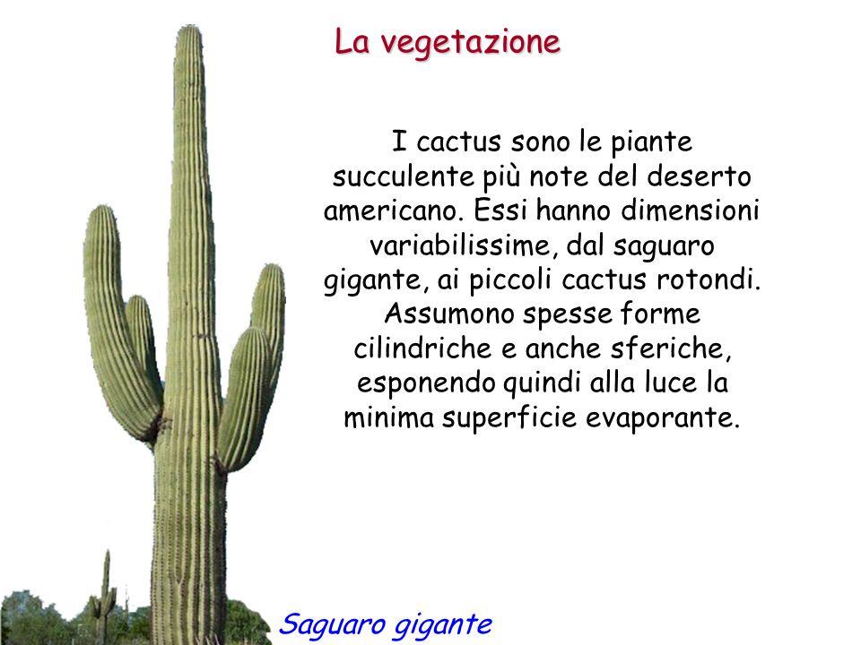 La vegetazione I cactus sono le piante succulente più note del deserto americano. Essi hanno dimensioni variabilissime, dal saguaro gigante, ai piccol