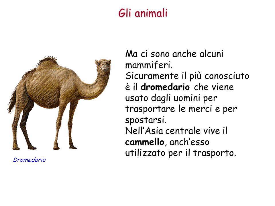 Gli animali Ma ci sono anche alcuni mammiferi. Sicuramente il più conosciuto è il dromedario che viene usato dagli uomini per trasportare le merci e p