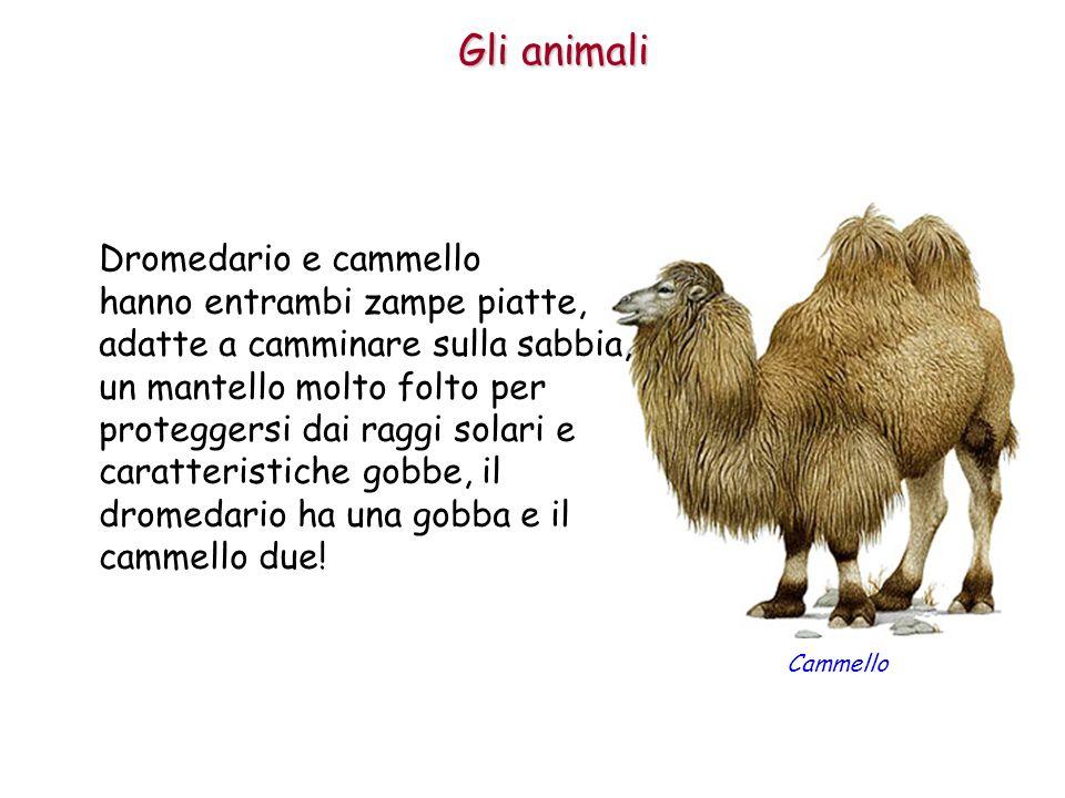 Gli animali Dromedario e cammello hanno entrambi zampe piatte, adatte a camminare sulla sabbia, un mantello molto folto per proteggersi dai raggi sola