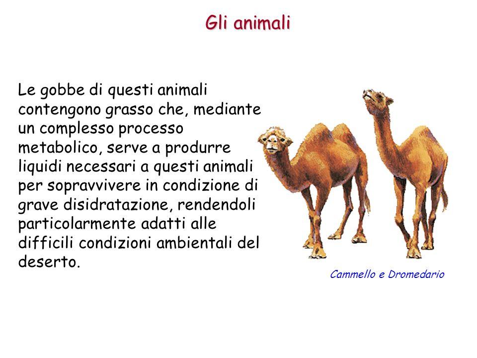 Gli animali Le gobbe di questi animali contengono grasso che, mediante un complesso processo metabolico, serve a produrre liquidi necessari a questi a