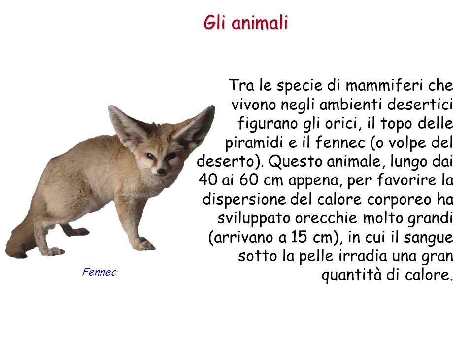 Gli animali Tra le specie di mammiferi che vivono negli ambienti desertici figurano gli orici, il topo delle piramidi e il fennec (o volpe del deserto
