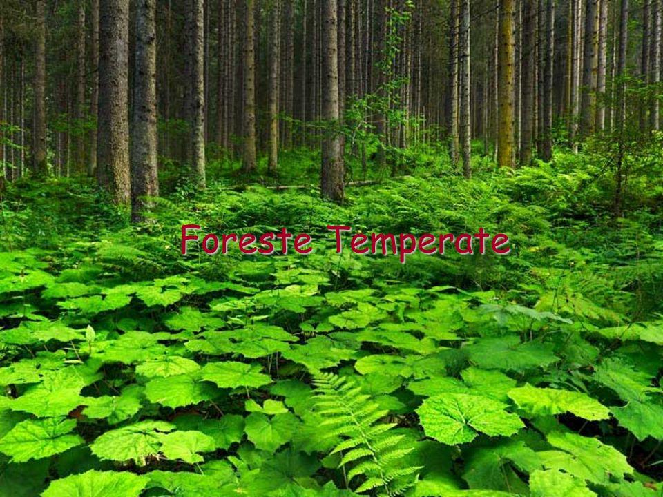 Le Foreste Temperate Le zone temperate sono quelle vicine al 45° parallelo