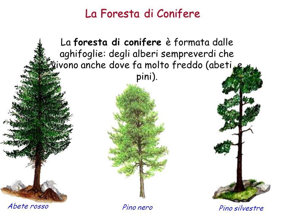 Le foreste di conifere si trovano in Canada e in tutta lEuropa e lAsia del Nord.