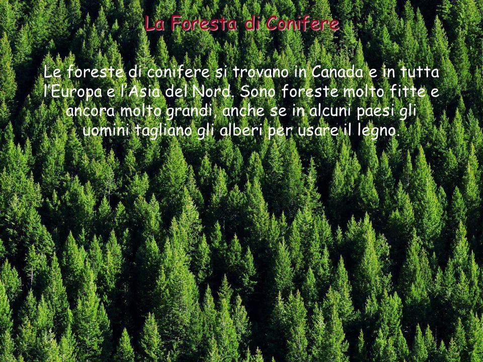 Nelle foreste delle zone temperate vivono moltissimi animali: molti insetti, molti uccellli ma anche molti mammiferi come lalce, il cervo, il capriolo, lorso, il castoro, lermellino, il lupo… Gli Animali delle Zone Temperate