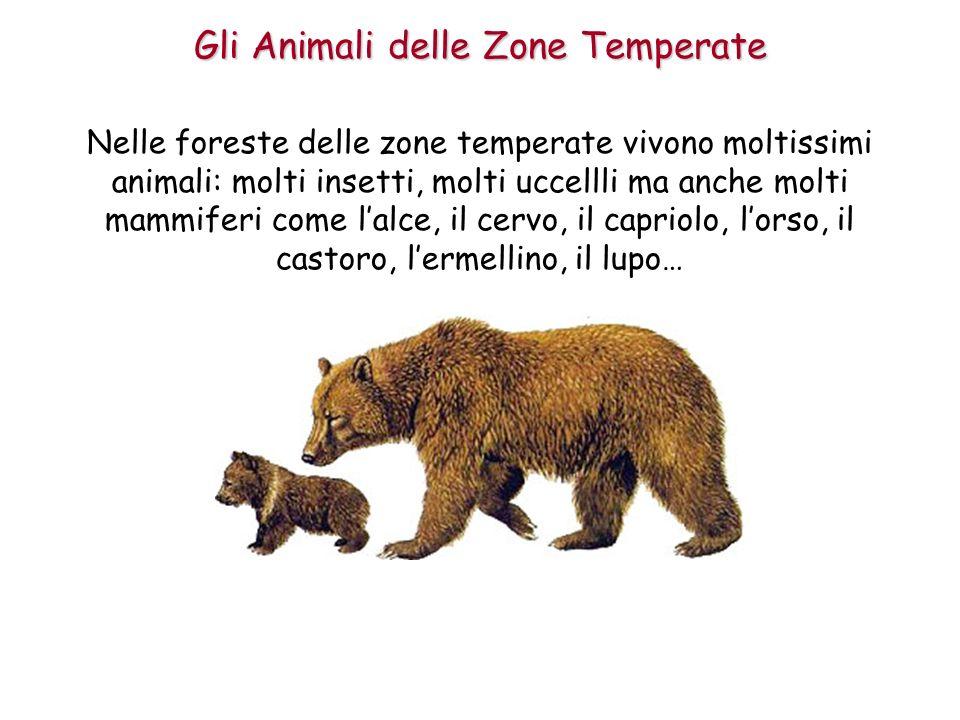 Nelle foreste delle zone temperate vivono moltissimi animali: molti insetti, molti uccellli ma anche molti mammiferi come lalce, il cervo, il capriolo