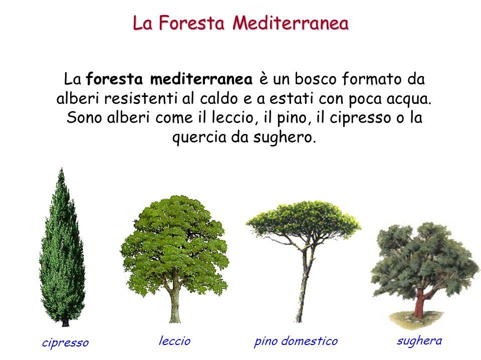 Anticamente era molto diffusa su tutte le coste del Mar Mediteraneo, ma gli uomini hanno tagliato molti di questi alberi per usare il loro legno, per coltivare i terreni o per costruire delle case.