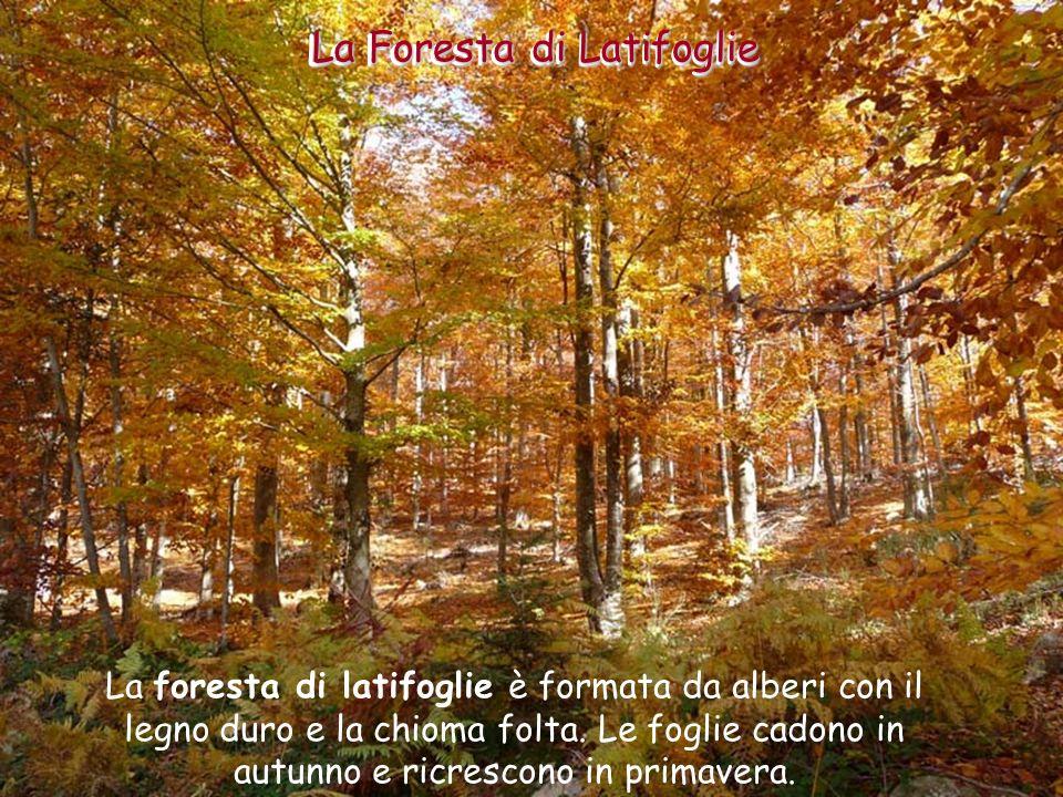 In passato questo tipo di foresta occupava tutta la zona meridionale della fascia temperata.