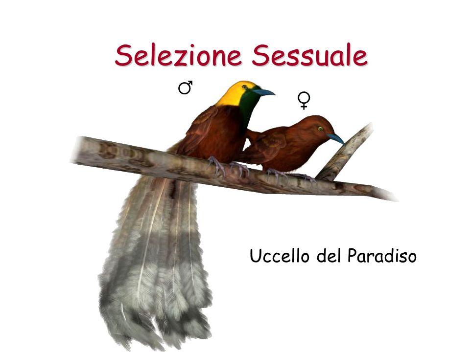 Uccello del Paradiso Selezione Sessuale