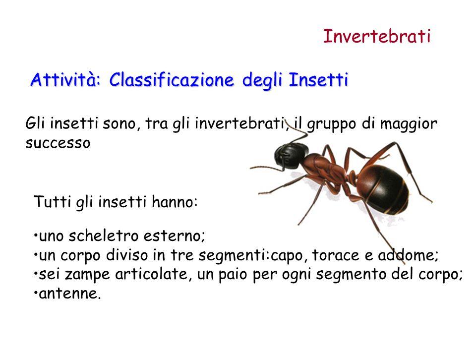Gli insetti sono, tra gli invertebrati, il gruppo di maggior successo Attività: Classificazione degli Insetti Invertebrati Tutti gli insetti hanno: un