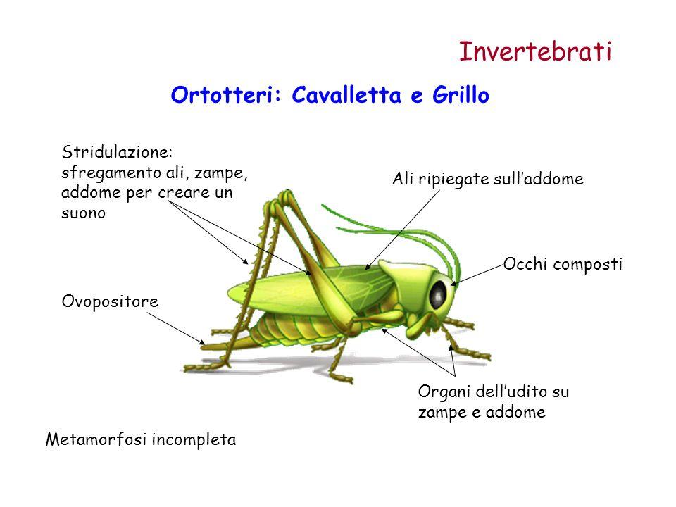 Ortotteri: Cavalletta e Grillo Invertebrati Ovopositore Ali ripiegate sulladdome Occhi composti Stridulazione: sfregamento ali, zampe, addome per crea