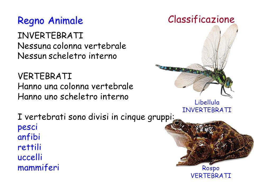 Classificazione INVERTEBRATI Nessuna colonna vertebrale Nessun scheletro interno VERTEBRATI Hanno una colonna vertebrale Hanno uno scheletro interno I