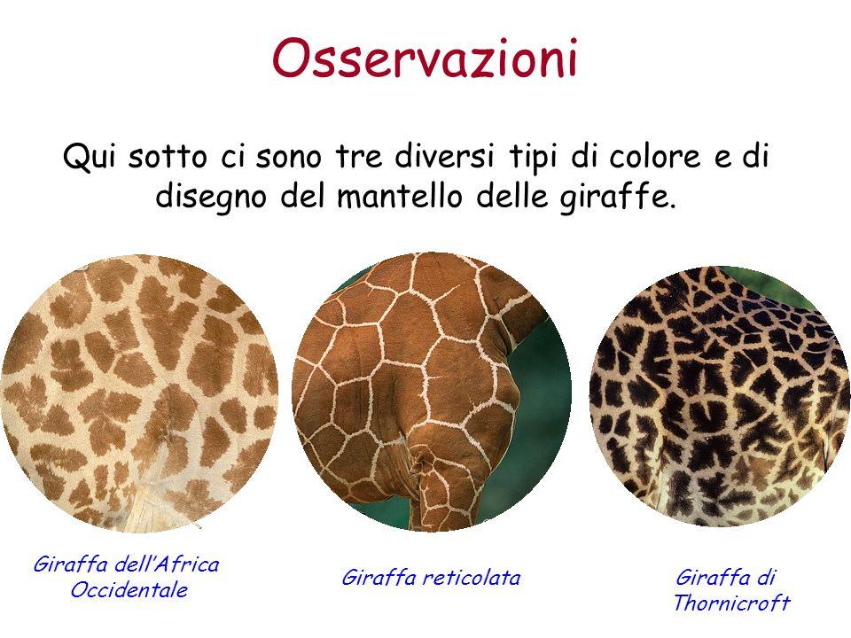 Osservazioni Qui sotto ci sono tre diversi tipi di colore e di disegno del mantello delle giraffe. Giraffa dellAfrica Occidentale Giraffa reticolataGi
