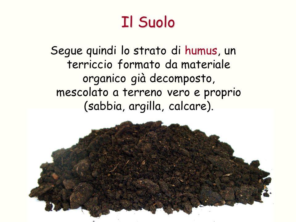 Segue quindi lo strato di humus, un terriccio formato da materiale organico già decomposto, mescolato a terreno vero e proprio (sabbia, argilla, calca